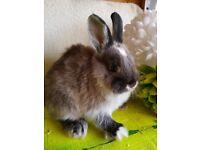 Netherland dwarf baby bunnies ready now