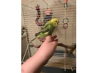 3 baby budgies 1 hand tame with large cage