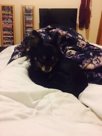 Rehome two chihuahua dogs