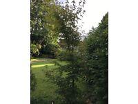 7 foot Acer tree