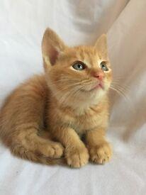 Superbly cute Beige, Ginger n Tortoishell kittens