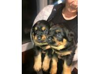 (SOLD) 6 Pure Chunky Rottweiler Puppies [NORTHERN IRELAND]