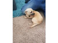 Chihuahua female puppy year old