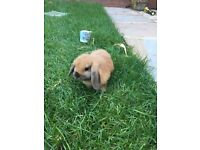 Mini Lops Rabbits and cage