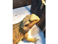 Bearded dragon for sale (viv included)