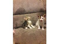 Beautiful mixed kittens