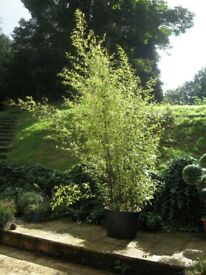 Black Bamboo plant very large in pot.