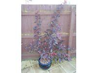 Large 5ft+ Physocarpus Ninebark Purple Leaf Specimen Shrub - £20 - Glenrothes