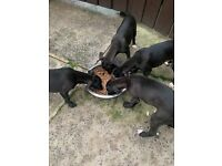 4 black whippet bitches