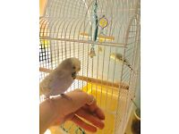 Tame English budgie bird six months old very cute