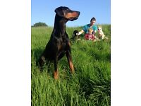 Beautiful Kc reg Dobermans