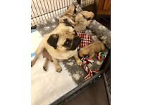 5 Beautiful KC reg well-bread Pug Puppies
