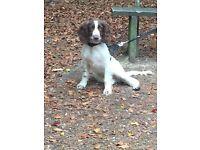 Handsome 10 month old Springer Puppy