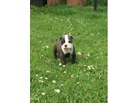 Oldie English bulldog puppy