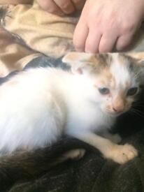Tabby , ginger and white female kitten for sale