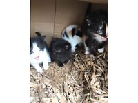 Lovely wee kittens ready to go to good homes only £15 each