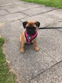 Jug Puppy for sale