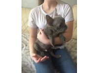 3 boy French bulldog puppies for sale