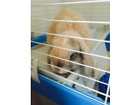 Lop male rabbit 4 months old very friendly comes with large indoor cage