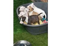 Stunning KC registered Champion Bloodline English Bull Terrier Puppies