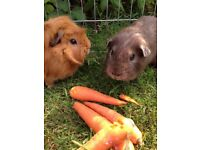 2 male piggies for sale