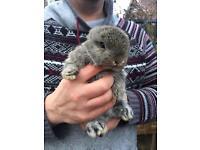 Agouti baby mini lop for sale