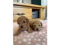 DNA clear - f1b cavapoo puppies
