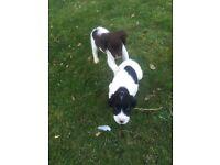 2 Springer spaniel puppys