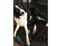 Siberian Husky x Border Collie Puppies for sale