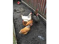 5 egg laying chickens