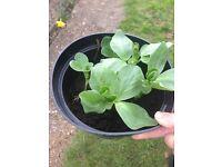 Runner Bean Plant Ready for Planting £2.50 for 5 plants