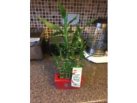 Lucky bambo plant