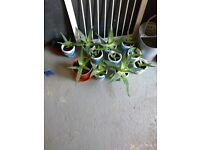 Mixed Size aloe Vera Plants 14 in Total