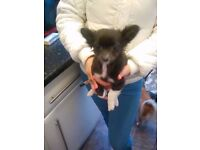 Chihuahua bitch pup