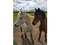 Companion/lead rein pony available