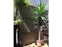 Spineless Yucca (Yucca Elephantipes, Fully hardy and large specimen) 1.8m