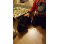 Rabbit with large cage. Vaccinated and microchipped