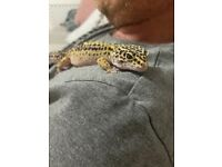 Lovely 2 year old Leopard Gecko called Echo