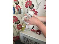 Siamese x British blue kittens