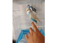 2 Baby budgies with cage 55