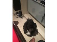 Pedigree Shih Tzu Puppy For Sale
