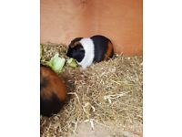 2 Guinea pigs with full set up