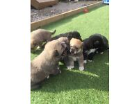 Stunning teddy bear pomsky puppies for sale