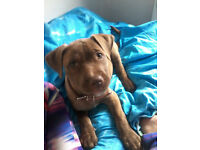 puppy staffie cross £200
