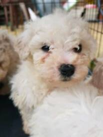 Puppies bichon frise