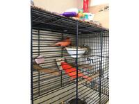 Red & yellow canary for sale