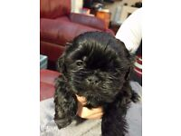 5 shih-tzu boy pups for sale..half Imperial