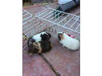 Baby's females Guinea pigs