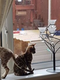 17 week old bengal kitten