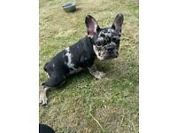 REDUCED!!! French Bulldog Puppy !!READY NOW
